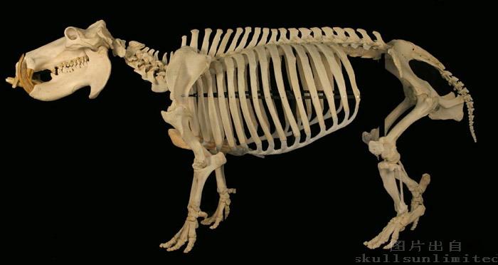 坐狮骨骼结构图